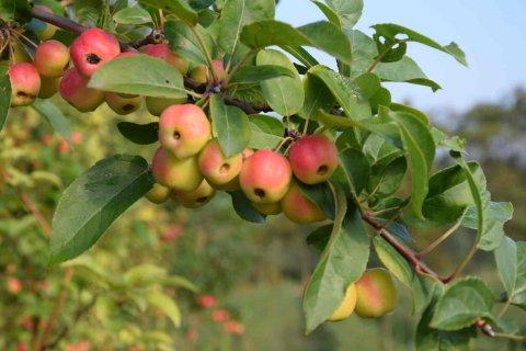 jabłoń rajska